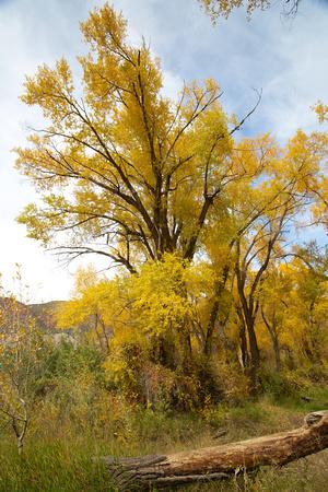 Fall Cottonwood
